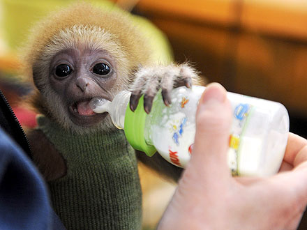 Baby Gibbon Gets Hand-Reared After Rejection