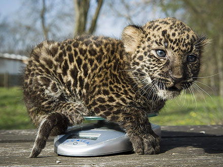 Aww! Tiny Leopard Cub Tiptoes Onto the Scale