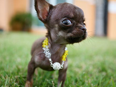 World's Smallest Dog Contender Milly Is Chihuahua from Puerto Rico