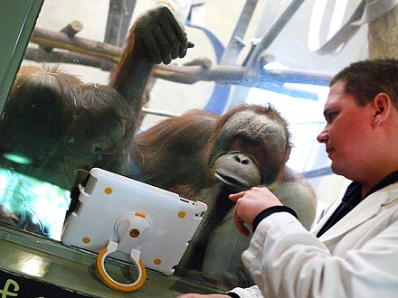 Orangutans at Milwaukee Zoo Video Chat with iPads
