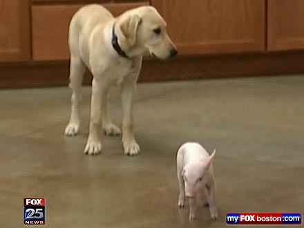 Pig and Dog Become Best Friends
