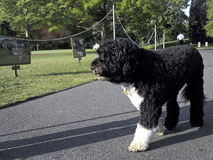 Bo Obama Appears During White House Garden Tour
