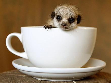 Cute Photo: Meerkat in a Teacup!