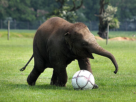 Trunk Show! Baby Elephant Plays Soccer