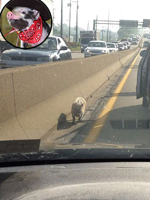 Scarf-Wearing Pig Spotted in Pittsburgh