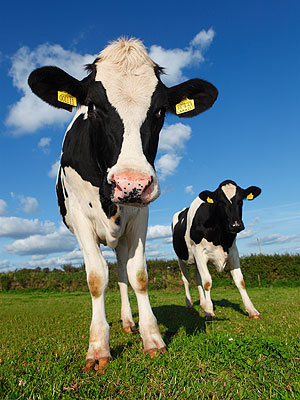 Olympics 2012 London: Opening Ceremony to Include Cows, Horses