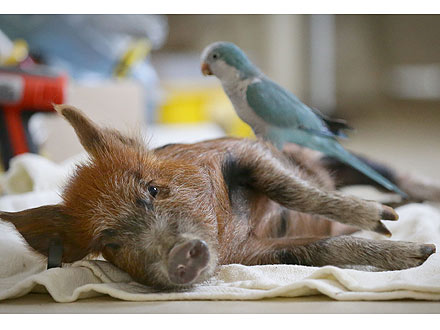 When Pigs Fly? Mini Piglet and Parrot are BFFs