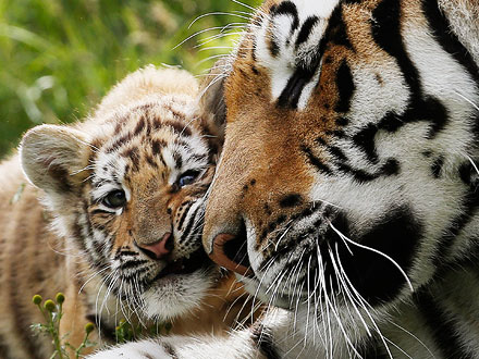 Cute Photo: Tiger Mom Cuddles Her Cub