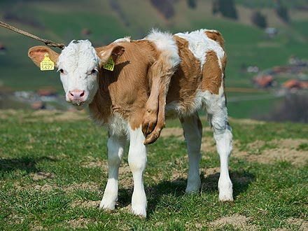 Calf Born with Six Legs Undergoes Surgery