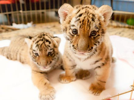 Aww! Tiger Cub Meets Her New BFF