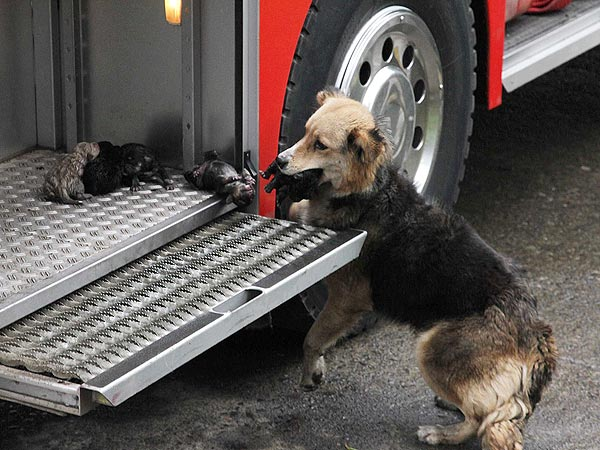 Dog Saves Puppies from Fire in Chile
