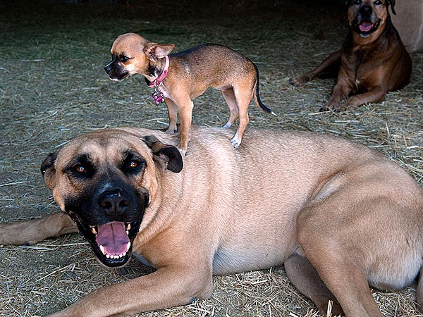 Tiny Dog Beyonce Hangs Out with a Bull Mastiff