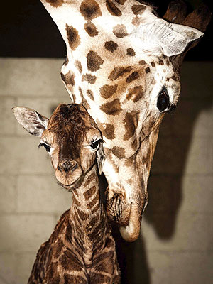 Aww! Baby Giraffe Gets Nudged by Mom