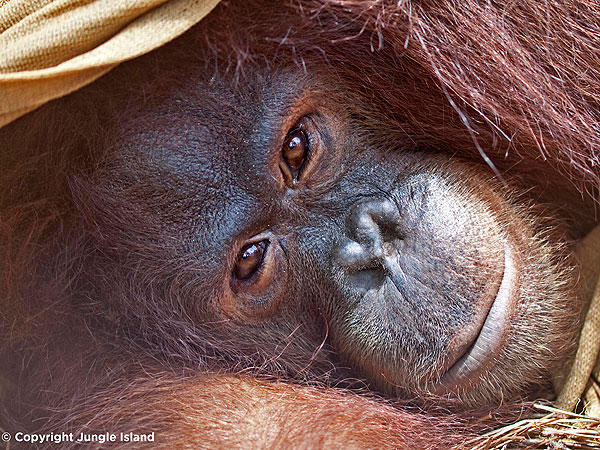 Peanut the Orangutan Undergoing Chemotherapy at Jungle Island in Miami
