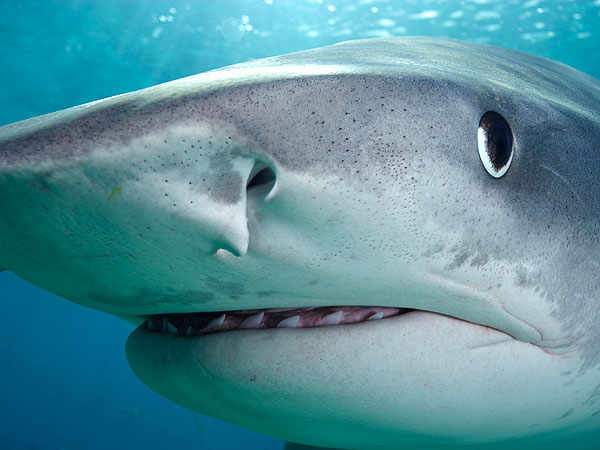 Sharks Are Color-Blind: Study