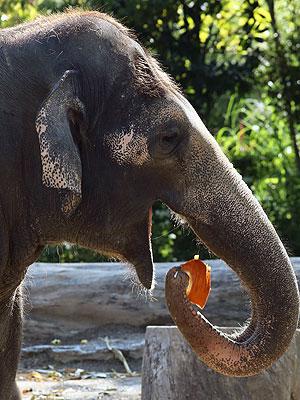 Pumpkin Smash! Baby Elephant Enjoys Fall Treat