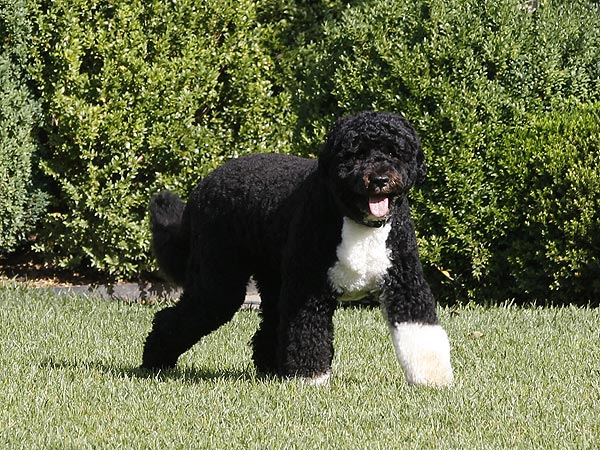 Bo Obama Celebrates 4th Birthday with Doggy Playdate