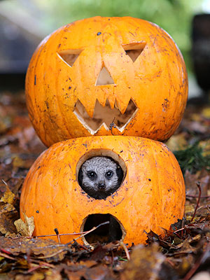 Boo! Meerkat Pops Out of a Jack-'O-Lantern