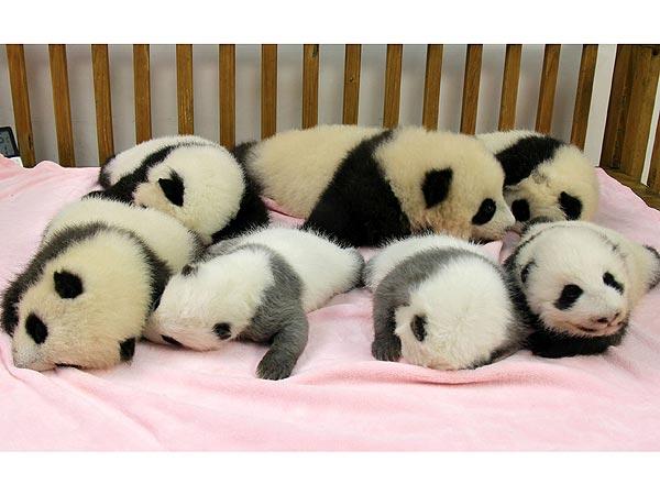 Seven Baby Pandas on Sleep Parade!