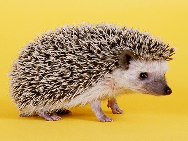 Hedghog Rescued from Chip Bag