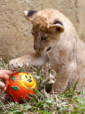 Morning Cuteness: Lion Cub Discovers Ball