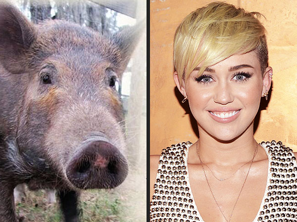 Miley Cyrus Receives Sponsored Pig From PETA for Birthday