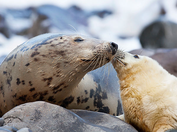 Seal Pup Kisses Mother: Photo