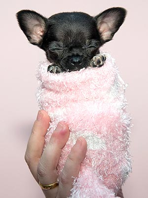 Lacey Britain's Smallest Dog: Photos