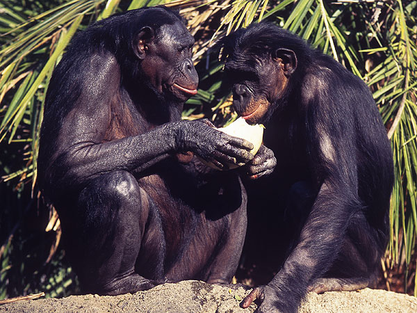 Bonobos African Apes Share Food with Strangers