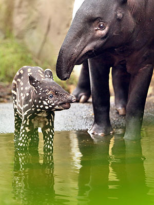 Baby Tapir with Spots in Germany: Photo