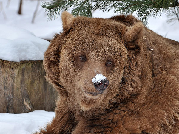 Bear with Snow on Nose: Photo
