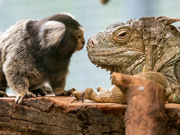 PHOTO: Common marmoset, green iguana, Germany zoo, Unlikely Friends