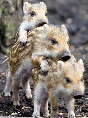 Boar Piglets in Germany: Photo