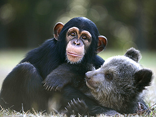 The Daily Treat: This Baby Chimp and Bear Can't Get Enough of Each Other
