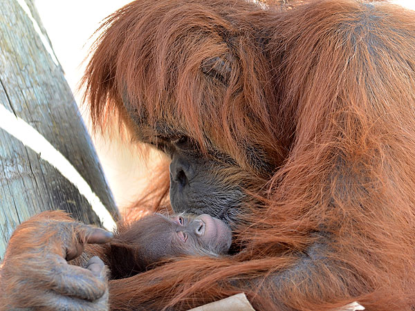 Happy Mother's Day: Orangutan With Newborn Baby at ABQ BioPark Zoo Photo