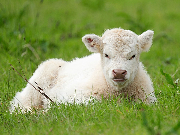The Daily Treat: Nothing You Do or Say Will Cheer Up Grumpy Cow
