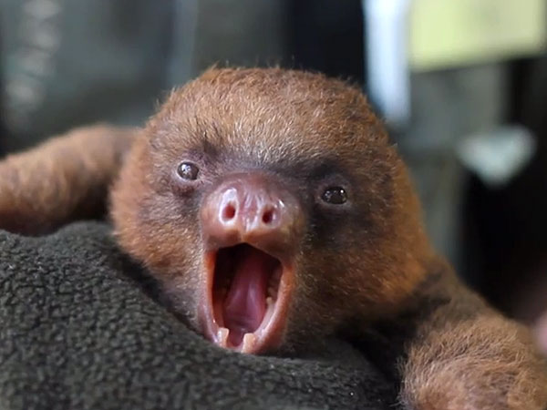 Are Baby Sloth Yawns Contagious, Too?