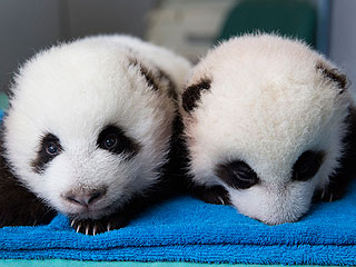 Name the Pandas at Zoo Atlanta!