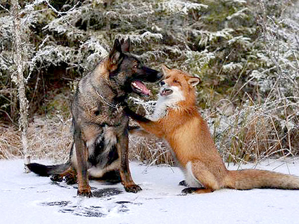 ... Daily Treat: Sniffer and Tinni Are a Real-Life The Fox and the Hound