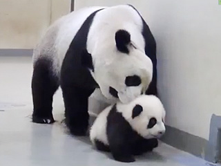 The Daily Treat: Mama Panda Brings Her Little One Back to Bed