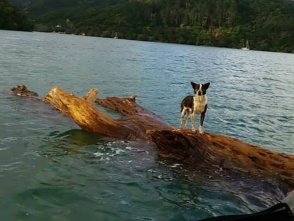 Dog Rescued from Log by New Zealand Navy: Photo