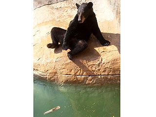 The Daily Treat: Texas Bear Escapes Zoo Enclosure to Swim with Seals