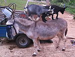 No Big Deal, Just Some Goats Riding Some Donkeys