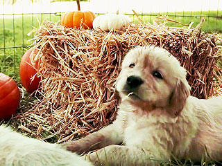 Deep Down, We Are All These Golden Retriever Puppies Experiencing Fall for the First Time