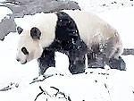 Panda Tumbling In Snow Makes Winter Almost Bearable
