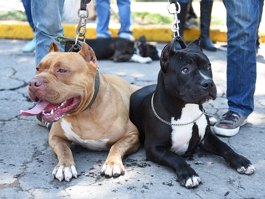 the banning of pitbulls Montreal is considering a law that would ban pit bulls, supported by its mayor, following the death of a woman in june at the hands of a suspected pit bull.