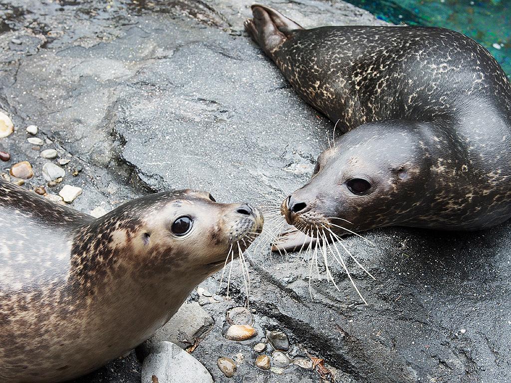 Manhattan Zoo Exhibits 2 Harbor Seals Photo
