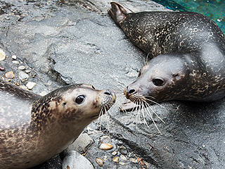 Central Park Cuteness: Manhattan Zoo Exhibits 2 Harbor Seals