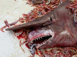 Rare, Deeply Upsetting 'Goblin Shark' Caught Off Gulf of Mexico