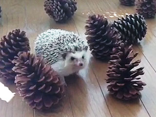 Hedgehog Trying to Befriend Pinecones May Be the Cutest Thing You See Today